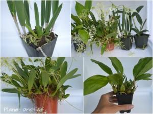 Los tiestos o macetas no deben ser demasiado grandes para las plantas. Aqui pueden ver lo bien que crecen las orquideas cuando se siembran en un tamaño de tiesto adecuado.