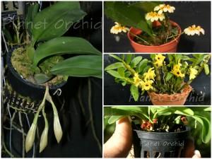 Orquideas en diferentes tipos de tiestos o macetas. Los tiestos con perforaciones por todos los lados son excelentes.