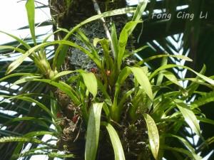 Maxillaria coccinea en el Bosque Nacional El Yunque.