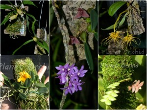 Orquídeas montadas en pedazos de camaroncillo (helecho arbóreo) y en corcho.